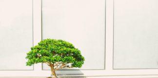 Zainwestuj w harmonię i naturę wybierz bonsai